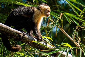 Costa Rica - white faced capuchin monkey - Tortuga Lodge.jpg