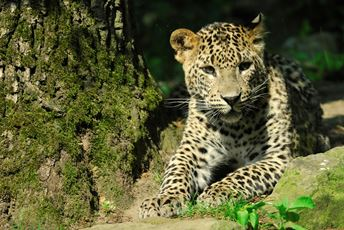 Sri Lanka - leopard in national park - iStock.jpg