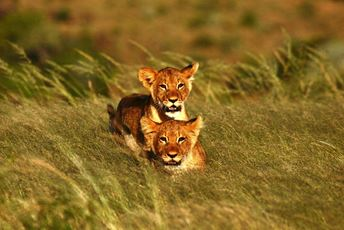 Kwandwe cubs in the grass.JPG
