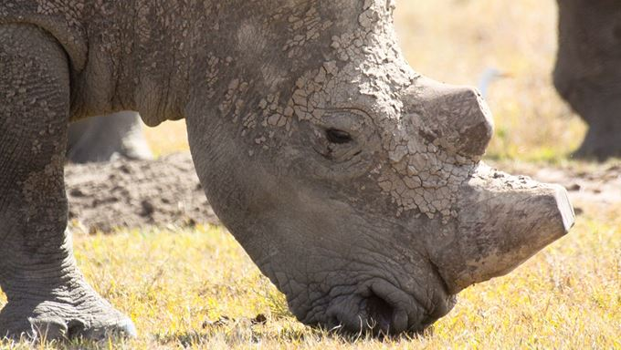 World Wildlife conservation day - dehorned rhino in sanctuary - istock.jpg