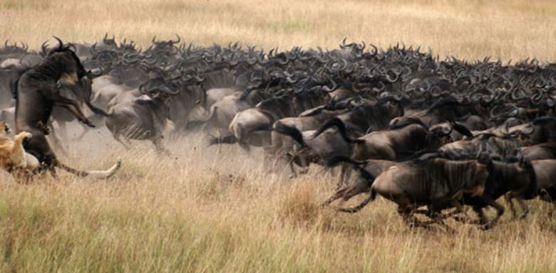 176-northern-tanzania-1-1 wildebeest lead.jpg