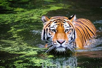 india-endangered-tiger-in-waterhole.jpg