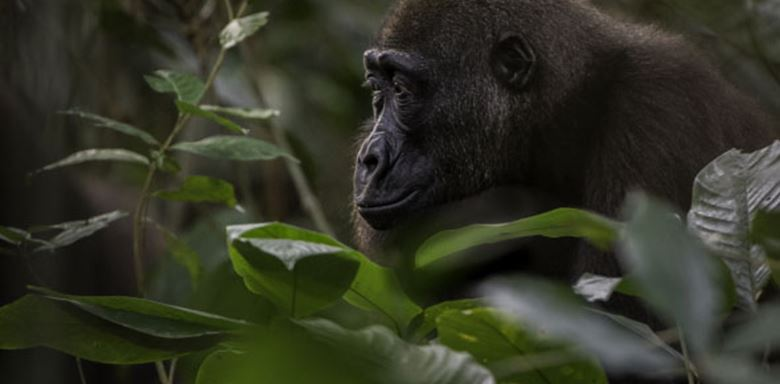 34-the-congo-1-1 lowland gorillas.jpg