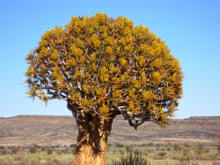 See the desert plants and vegetation of Namibia with The ...