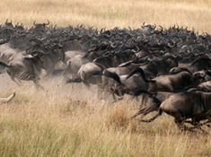 africa wildlife migrations.png