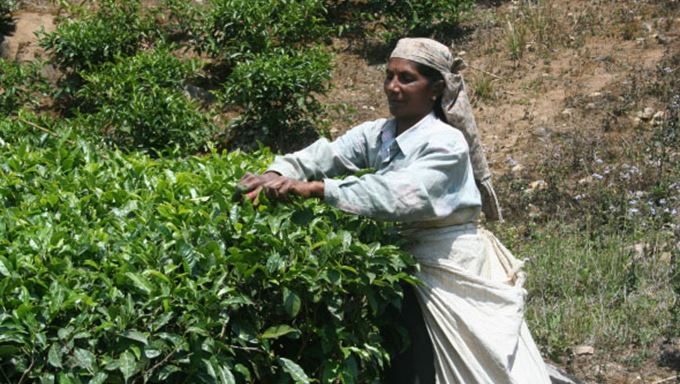 Take high-tea in the hill station of Munnar