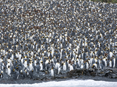 antarctica migration of emperor penguins.png lead.jpg