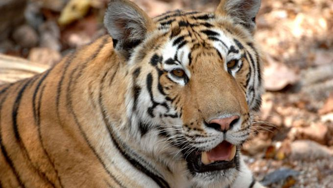 tiger safaris and india wildlife holidays lead.jpg