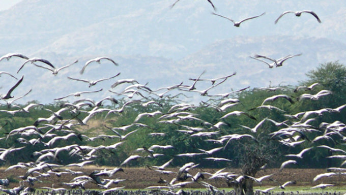 Migration of Demoiselle Cranes – Rajasthan - Asian Explorations