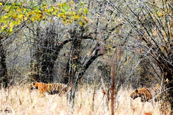 Tiger viewing in Tadoba Park, Central India lead.jpg