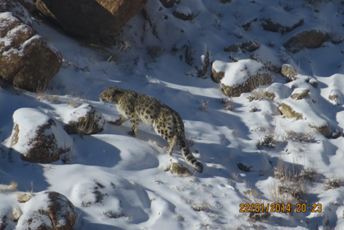 In search of the elusive Snow Leopard.jpg