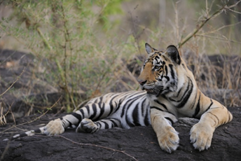 Where to see tigers in India.jpg