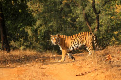 Tiger-viewing tiger safari in India.jpg