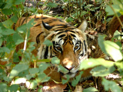 Tiger-viewing tiger safari India.jpg
