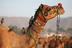 Bateshwar Cattle Fair.jpg