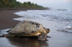 Turtle nesting in Costa Rica.jpg