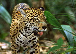 Jaguar spotting in Pantanal.jpg