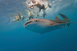 Swim with whale sharks.jpg