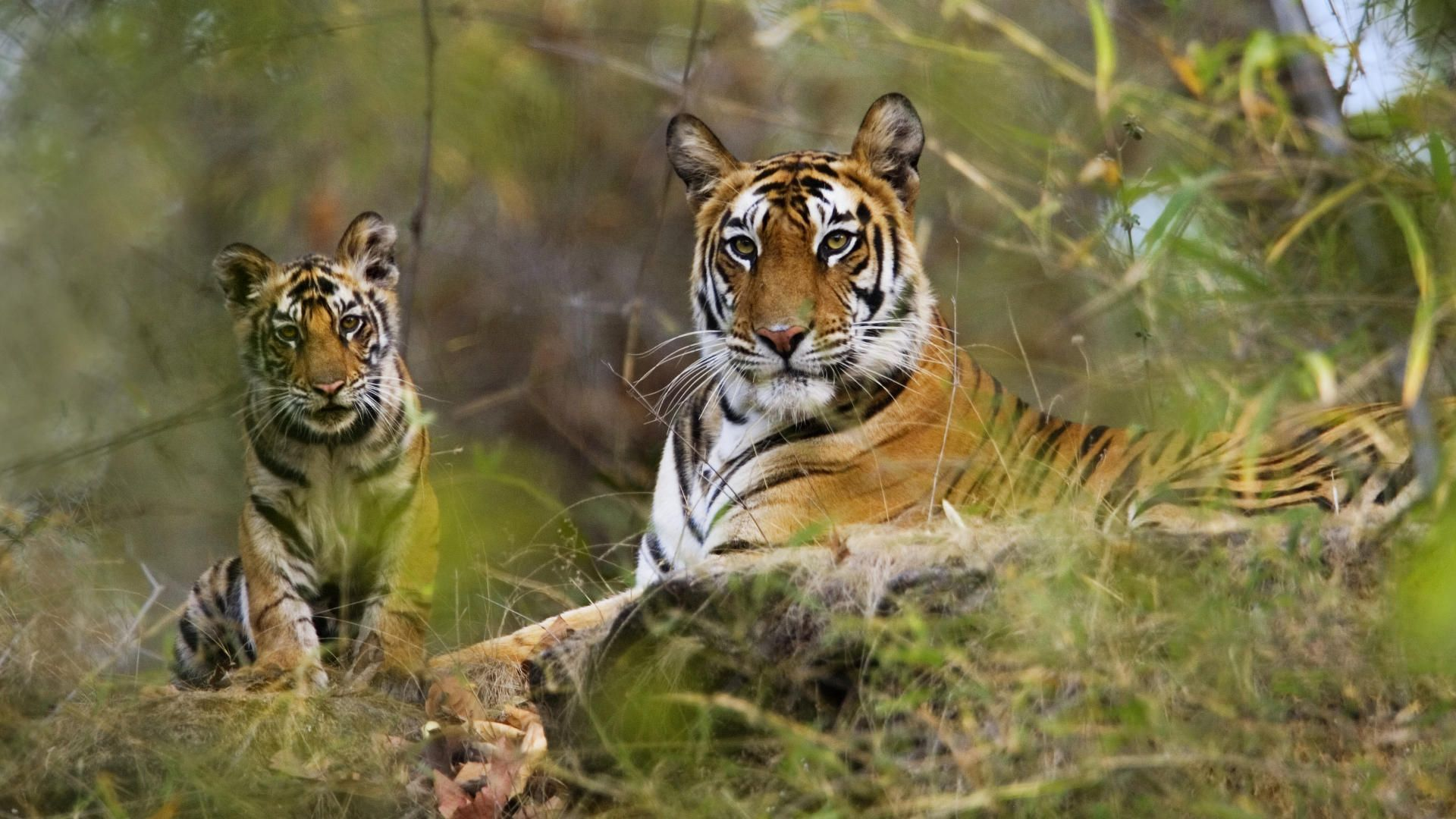Will the Tiger become extinct during our lifetime background.jpg