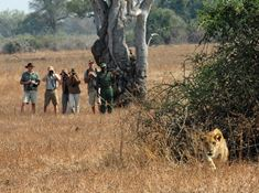 Walking Safari Lions 2.jpg