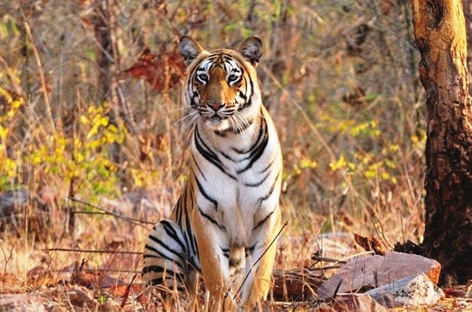 Sub adult male spotted at Tadoba.JPG