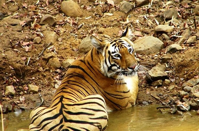 Sub adult male seen at Tadoba sitting in a small pond.JPG