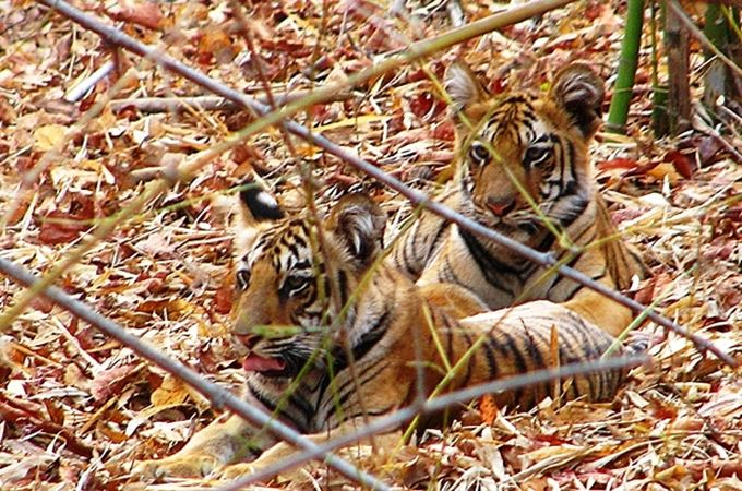Cubs seen at Tadoba.JPG