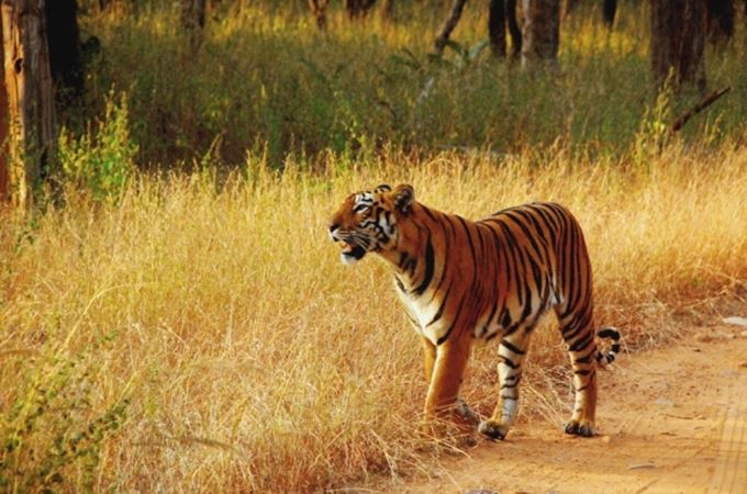 Tiger sighting at Mukki zone Kanha.JPG