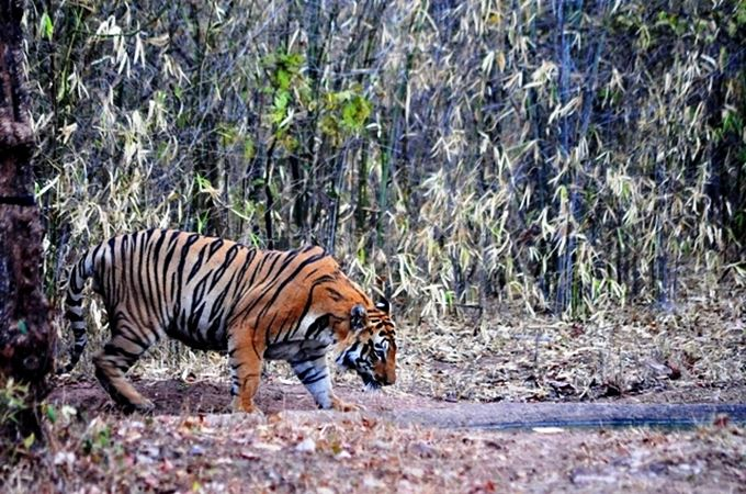 Tiger spotted at Tadoba.JPG