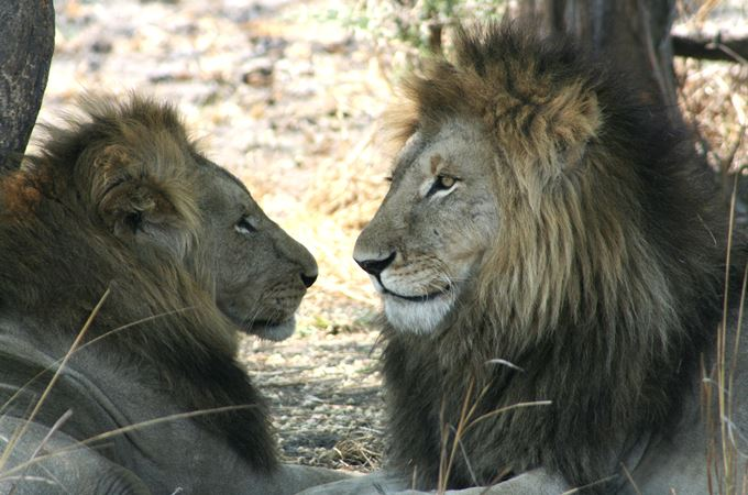 Zambia two male lions.jpg