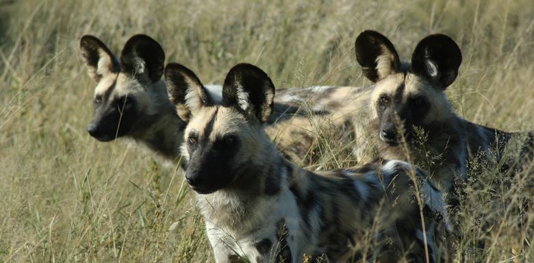 Wilddog at Grasslands 3 (30).jpg