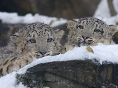 snow-leopard-725385 free to use from Pixabay 190815.jpg