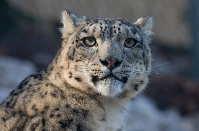 snow-leopard-725384 free to use from Pixabay 190815.jpg