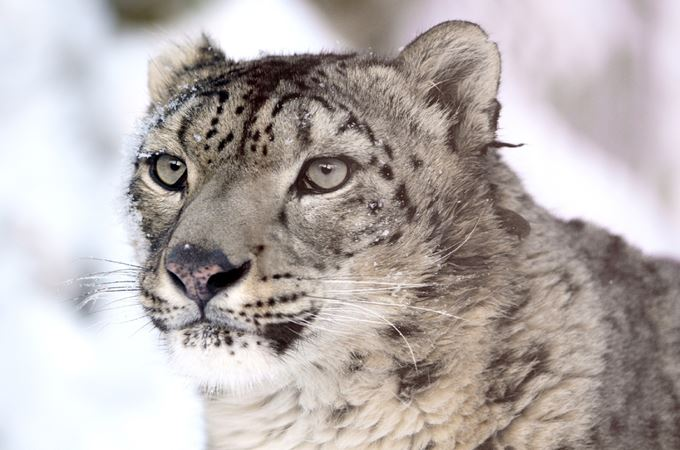 snow-leopard-620556 free to use from Pixabay 190815.jpg