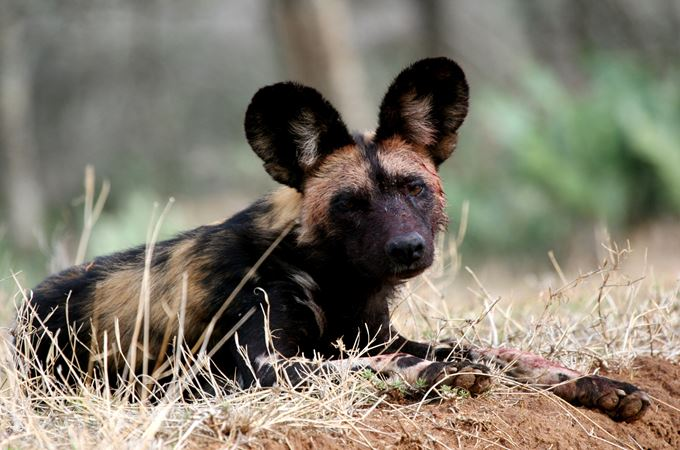 African Wild Dog - credit to Jamie Gaymer.jpg