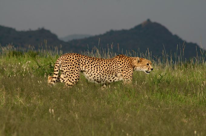 Cheetah  - credit to Jamie Gaymer.jpg