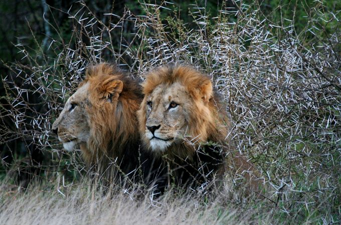 Lions - credit to Jamie Gaymer copy.jpg