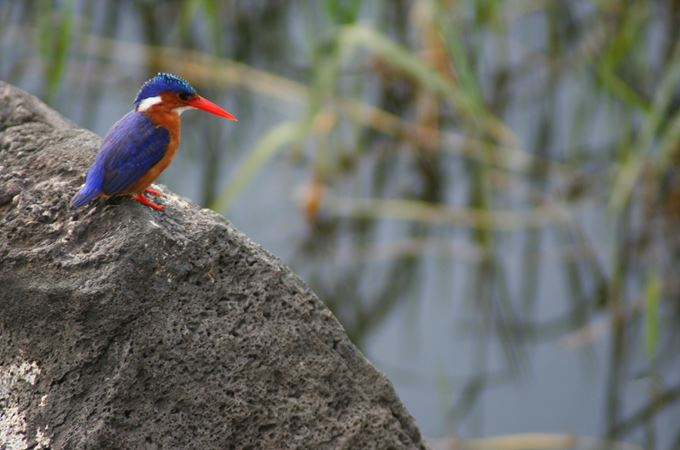 Malachite kingfisher.jpg