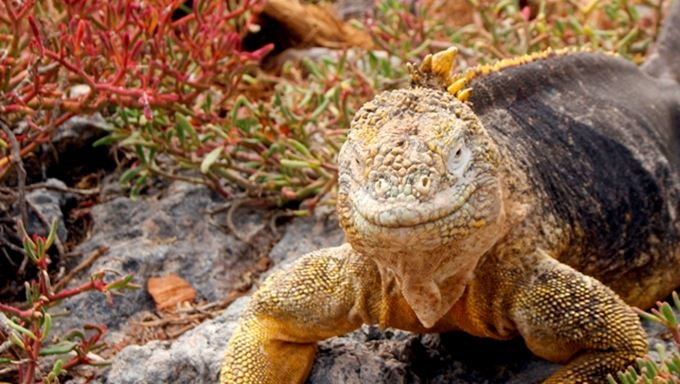 Highlight - Galapagos Wildlife Cruises - Ocean Spray Cruise - Land Iguana.jpg