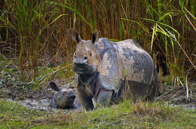India - Kaziranga - Rhino mud bath.jpg