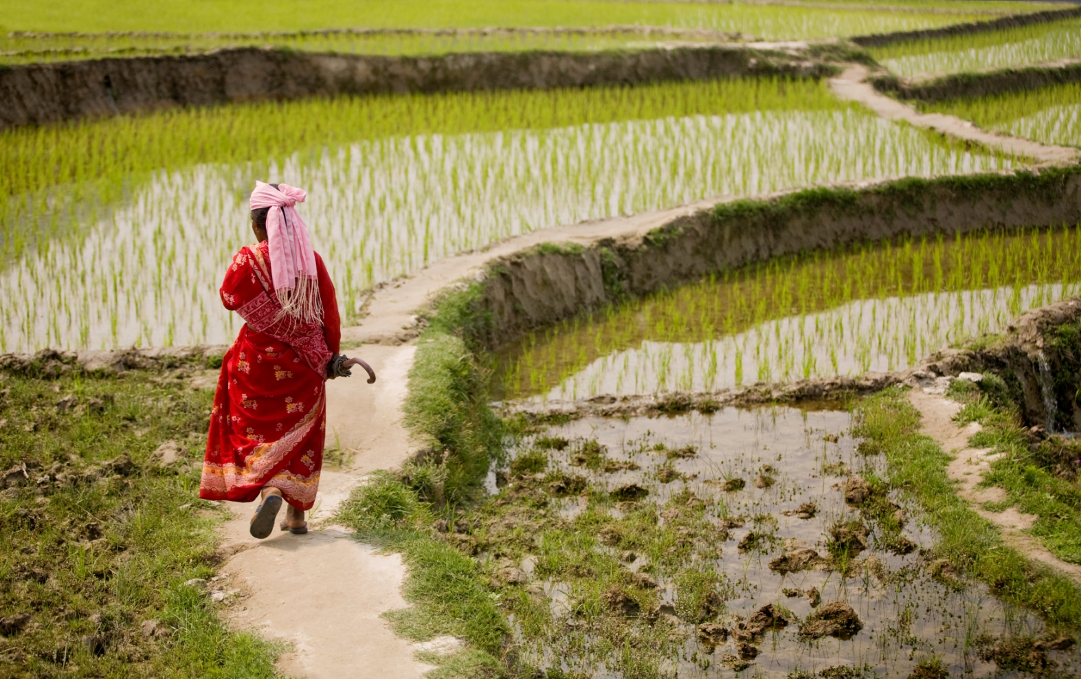 Asia - Nepal - Rice paddy fields - Istock med.jpg