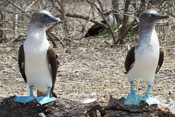 South America - Galapagos - blue footed booby pixabay med2.jpg