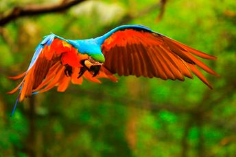 Brazil - Amazon - parrot in flight - med.jpg