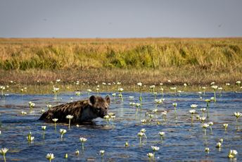 Hyena in water with lillies  in Liuwa Plains Zambia - Noeline Tredoux