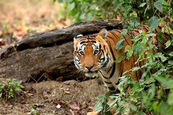 India Tiger Reserve Sustainable Travel - Tiger sighting hd.jpg