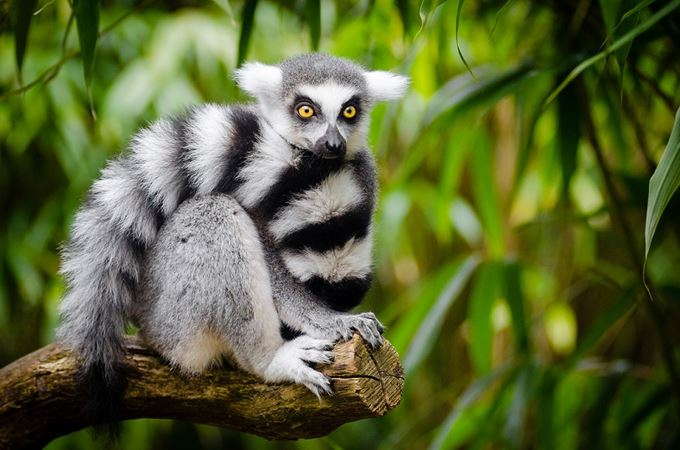 Primates - Endangered - Ring tailed lemur.jpg