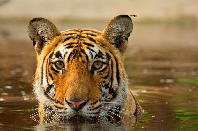 India - Tiger-cooling-off-in-a-waterhole- istock lrg.jpg