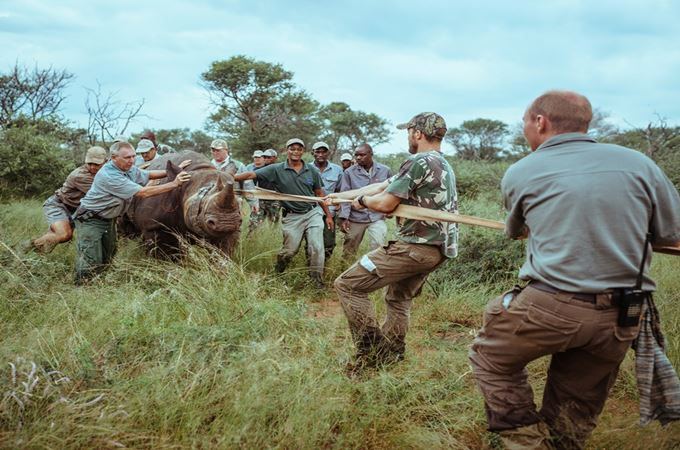 Rhino capture team assists in navigating a tranquilised rhino towards the crate for transport.jpg