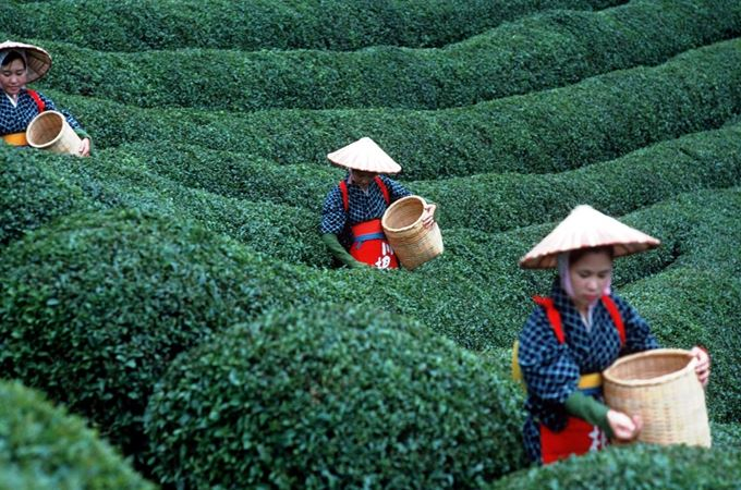 Japan-Tea-Plantation-Pickers.jpg