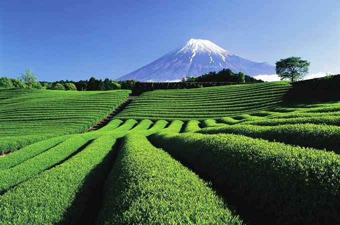 Tea Plantation-Mount Fiji-Japan.jpg